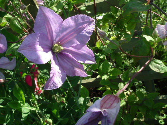 """""""Prince Charles"""" (clematis)"""