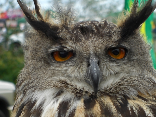 Owl_at_Bedfont_Lakes_Country_Park_R.jpg