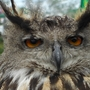 Owl_at_bedfont_lakes_country_park_r