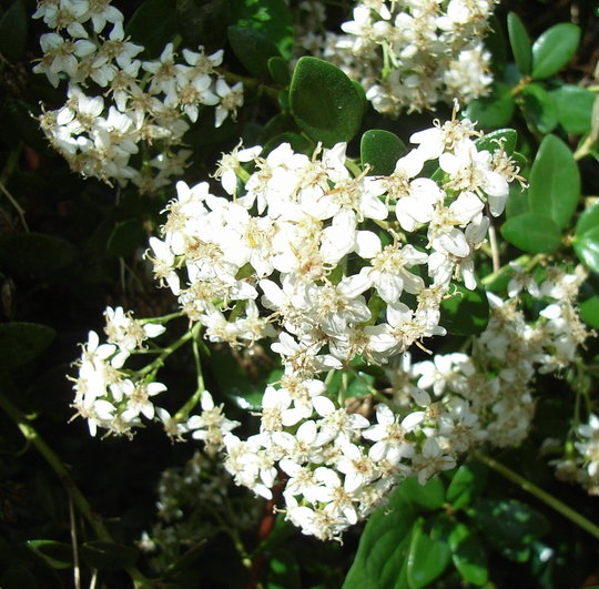 Olearia x haastii - 2009 (Olearia x haastii)