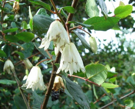 Crinodendron patagua - 2009 (Crinodendron patagua)