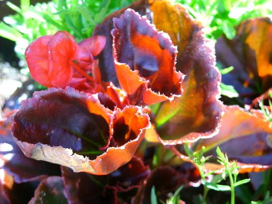 BEGONIA_Dark___Green_Leaf_Mixed.jpg