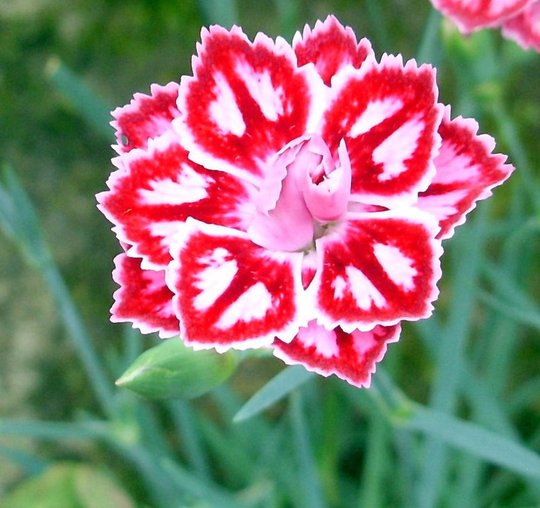 Starburst Dianthus