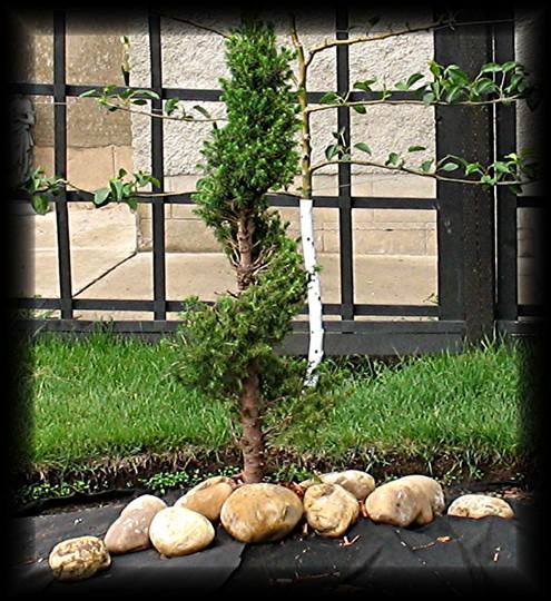 Spiral Alberta Spruce(Picea glauca conica)