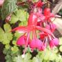 Fuchsia 'Satelite'