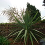 palm (Cordyline australis (New Zealand cabbage palm))