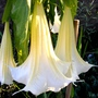 Closer view of my Angels Trumpets (Brugmansia suaveolens (Maikoa))