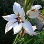 Gladiolus Callianthus (Gladiolus callianthus (Abyssinian Gladiolus))