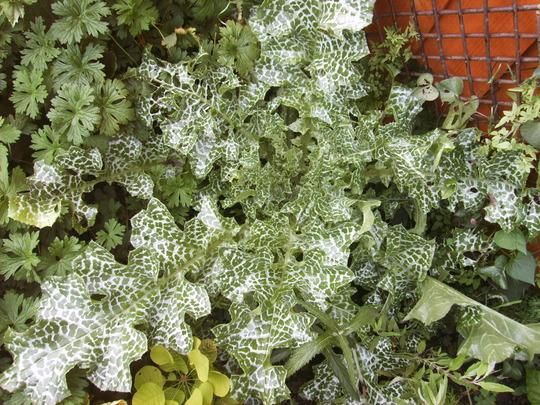 Silybum marianum (Blessed Mary's Thistle) (Silybum marianum (milk thistle))
