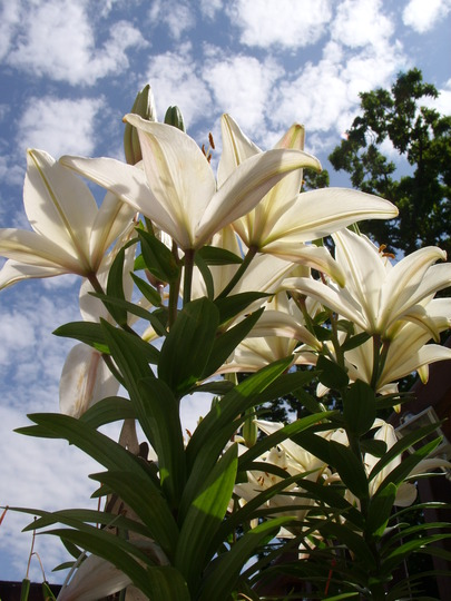 Asiatic Lillies - Reinesse