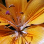 Asiatic_lily_inside_