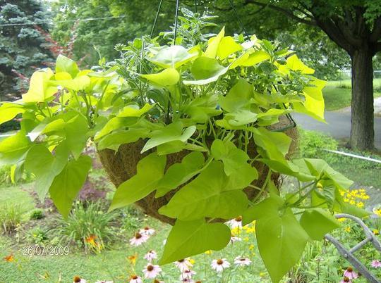 Ornamental Sweet Potato Vine