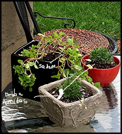 Rock plants (Draba aizoides, and Sedum)