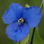 Blue Spiderwort (Commelina coelestis)