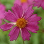 Pink Lady close up... (Coreopsis tripteris)