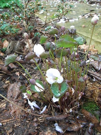 Jeffersonia diphylla (Jeffersonia diphylla)