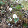 Jeffersonia diphylla (Jeffersonia diphylla)