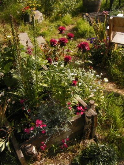 Monarda In full Bloom