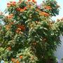 Spathodea campanulata - African Tulip Tree in San Diego  (Spathodea campanulata - African Tulip Tree)