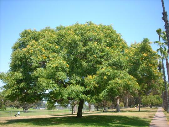 Tipuana tipu - Tipu Tree (Tipuana tipu - Tipu Tree)