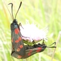 Six Spotted Burnet.