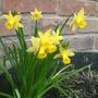 mini daffodils