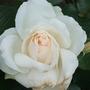 White_roses_004
