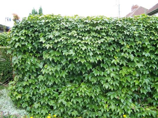 The garage wall 2006 (Parthenocissus quinquefolia (Virginia creeper))