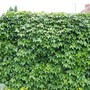 The garage wall 2006 (Parthenocissus quinquefolia (Virginia creeper))