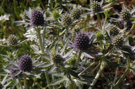 Eryngium 'Blue Hobbit' (Eryngium planum (Sea Holly))