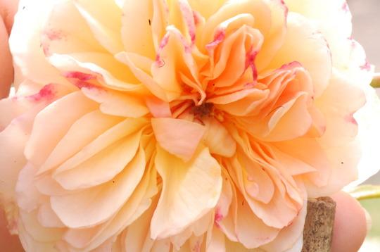 Rosa 'Port Sunlight' (Rosa)