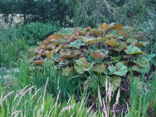 Petasites Japonicus (Petasites Japonicus)