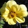 Dahlia_yellow