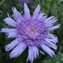 Stokesia