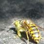 Evil_wasp