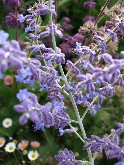 Perovskia atriplicifolia 'Blue Spire' (Perovskia atriplicifolia 'Blue Spire')