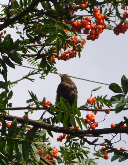 Blackbird - female...