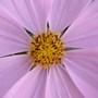 COSMOS - Pink Sonata