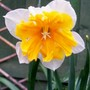 Apricot Whirl (narcissus 'apricot whirl')