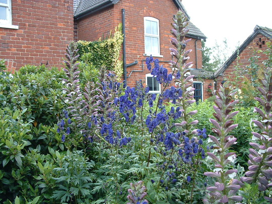 aconitum and acanthus spinosus(I think! Or is it mollis?)