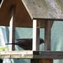 Male  Blackbird visiting my bird table