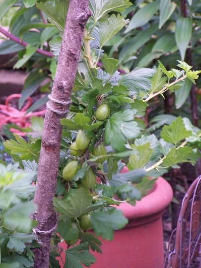 Gooseberry in full fruit (Ribes uva-crispa (Gooseberry))