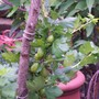 Gooseberry in full fruit (Ribes uva-crispa (Gooseberry))