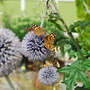 Painted Lady on Echinops (Echinops bannaticus (Globe thistle))
