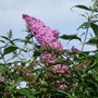 Buddleia_cu_july_09_002