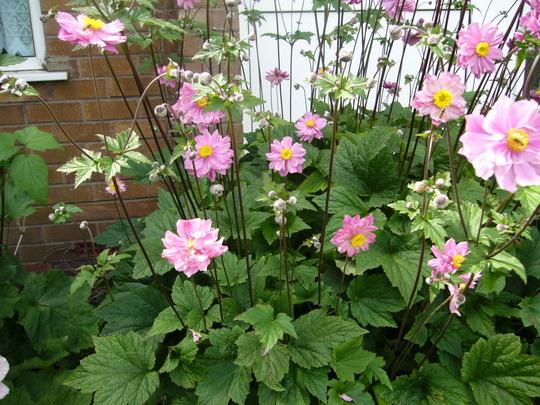 queen charlotte. (Anemone x hybrida 'Queen Charlotte')