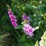 Gladiolus 'Thats love' (Gladiolus byzantinus)