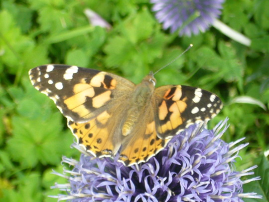 Butterfly on echinops.