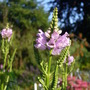 Obedient plant (Physostegia virginiana (Obedient plant))