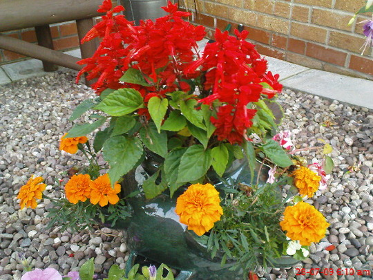 Stawberry pots, front garden (Tagetes patula)